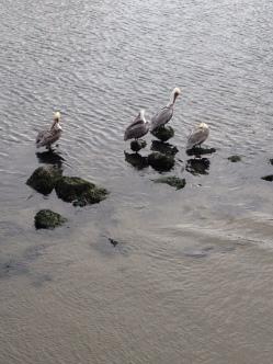 Pelikaner på kajen i Monterey