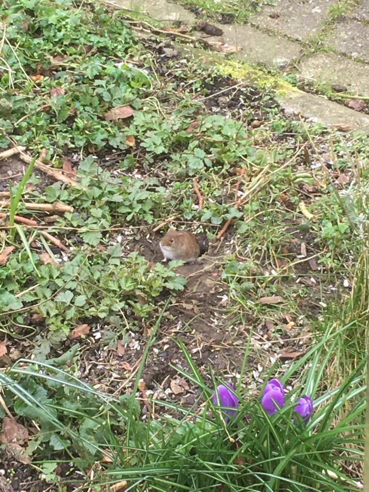 Her ses den lille brune mus i sit hul i vores have